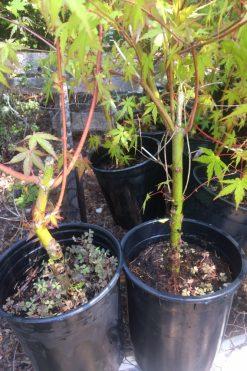 Japanese Maples For Bonsai Mendocino Maples Nursery