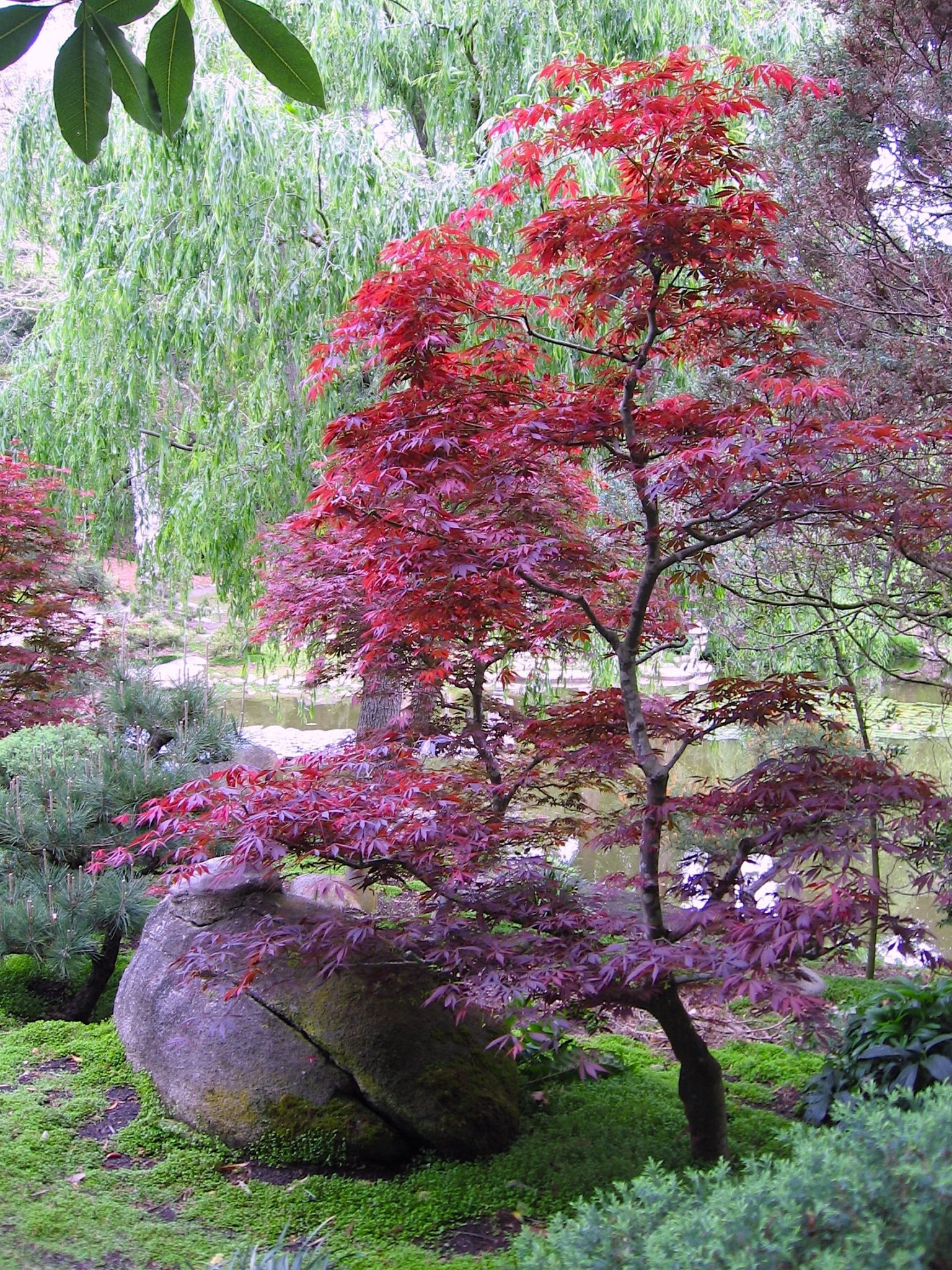 Japanese Maple Care Mendocino Maples Nursery