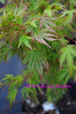 Dwarf Japanese Maples Great For Containers And Small Areas