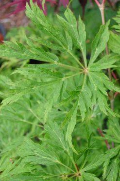 A. japonicum Green Cascade