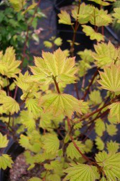Acer circinatum Sunglow