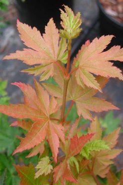 Acer circinatum Dels Dwarf