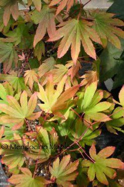 Acer circinatum Ki setsudoe