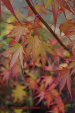Pine Bark Maple Nishiki gawa