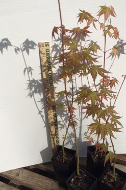 Japanese Maple bonsai starts
