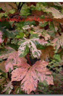 Acer pseudoplatanus Esk Sunset