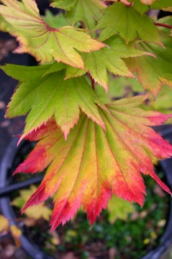 Japanese Maple Tree Varieties Mendocino Maples Nursery